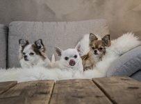 Chihuahua hondenmand kopen